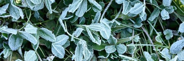 Erba verde con brina mattutina in giardino, erba congelata con brina sul prato all'alba. modello strutturato di sfondo naturale. vista dall'alto. striscione