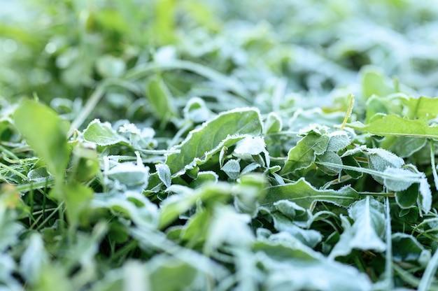 Erba verde con brina mattutina e luce solare in giardino da vicino
