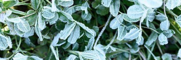 Erba verde con brina mattutina e luce solare in giardino, erba congelata con gelo sul prato all'alba. modello strutturato di sfondo naturale. vista dall'alto. striscione