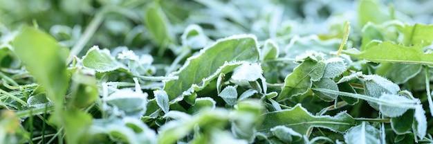 Erba verde con brina mattutina e luce solare in giardino, erba congelata con brina sul prato