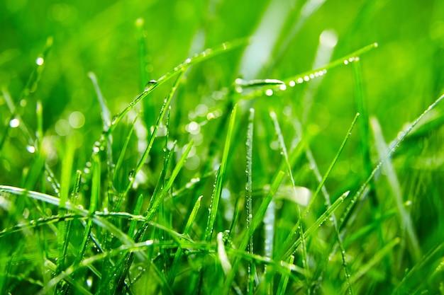 Erba verde con goccioline d'acqua sulle foglie. prato. freschezza mattutina