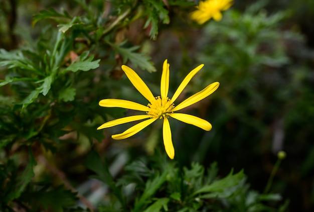 Serra verde. piante dell'orto botanico. bunga calendula.