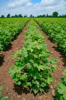 Campo di cotone verde e sano