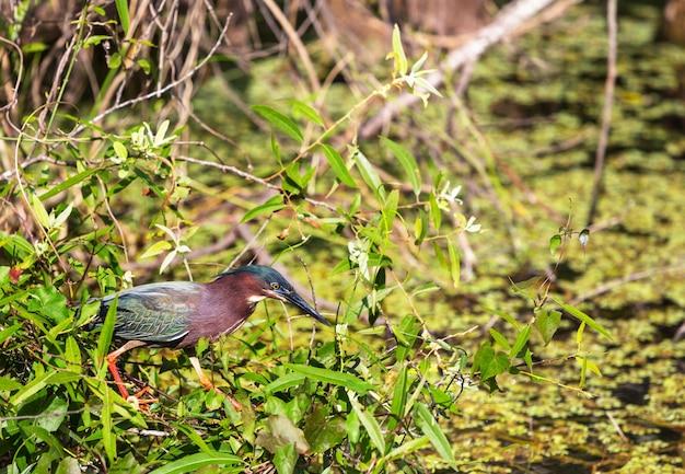 Airone verde,parco nazionale delle everglades, florida