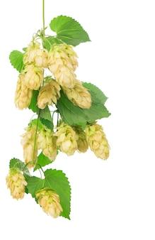 Coni di luppolo verdi isolati su bianco, fermentazione, produzione di birra naturale