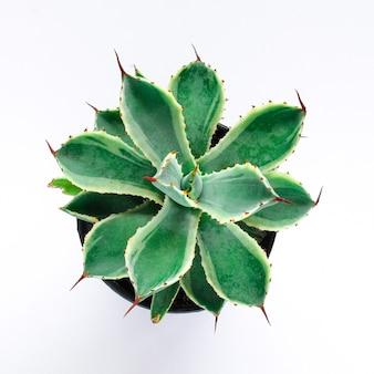 Piante verdi conservate in vaso, piante grasse su bianco.