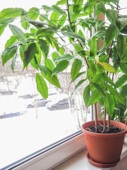 Pianta da appartamento verde in una pentola sul davanzale della finestra in inverno