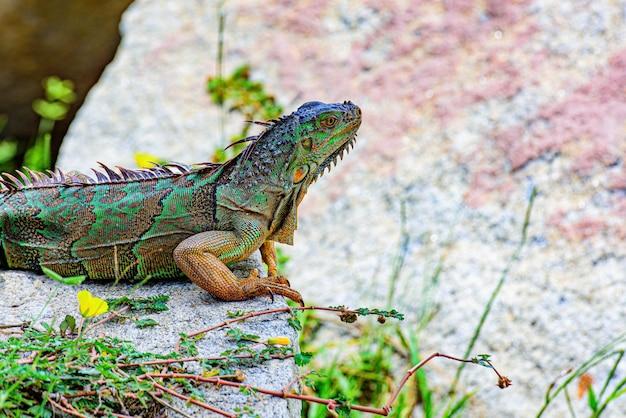 Iguana verde, nota anche come iguana americana, lucertola del genere iguana. è originario dell'america centrale, del sud america. lucertola dell'iguana su una pietra.