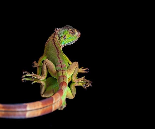Iguana verde su sfondo nero