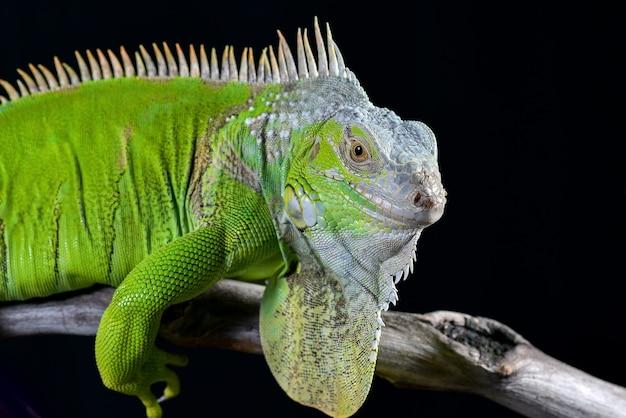 Iguana verde in sfondo nero