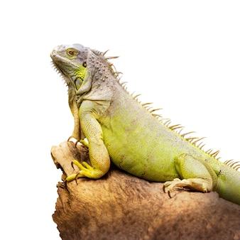 Iguana verde tenere sul legname secco isolato su sfondo bianco