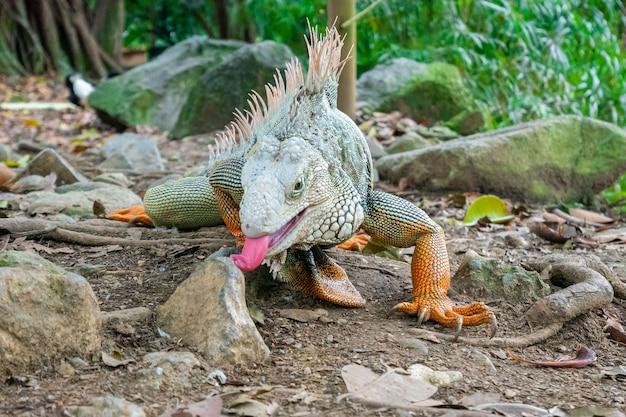 Iguana verde che fissa il terreno asciutto