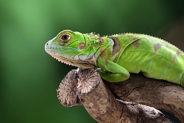 Iguana verde su un ramo di un albero