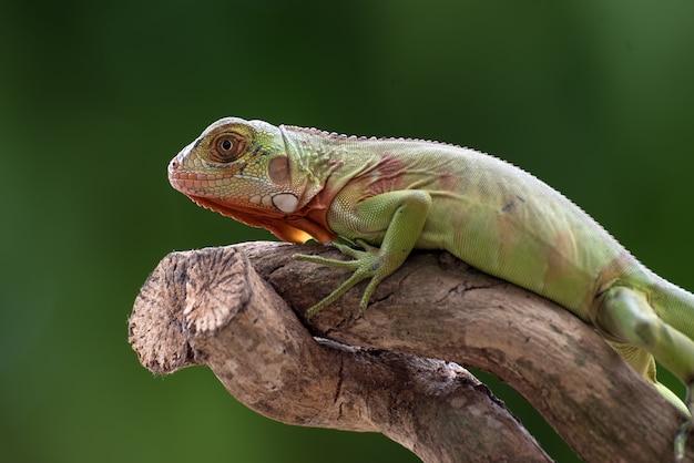 Iguana verde sul ramo di un albero
