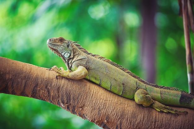 L'iguana verde stava riposando su una pannocchia di legno su sfondo sfocato