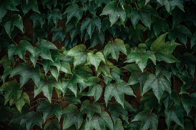 L'edera verde lascia il fondo della vite del rampicante della siepe