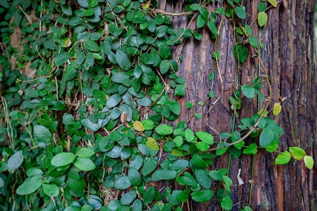Foglie di edera verde su un legno
