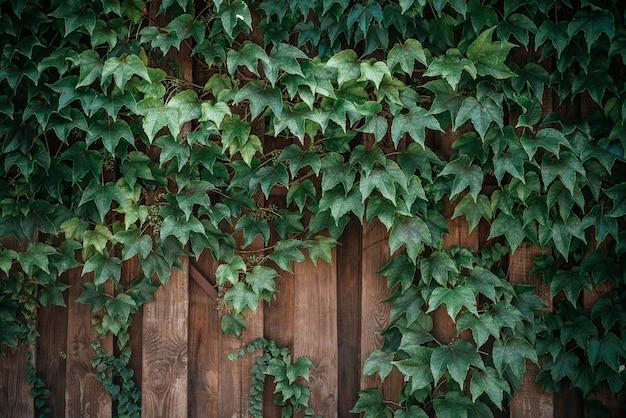 Foglie di edera verde su sfondo di staccionata in legno
