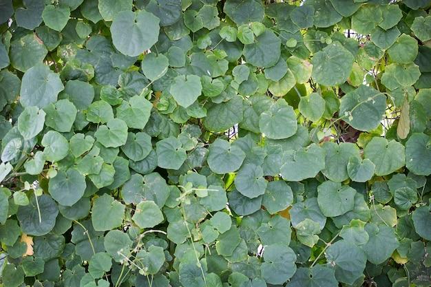 Pianta verde dell'edera sulla parete per sfondo naturale