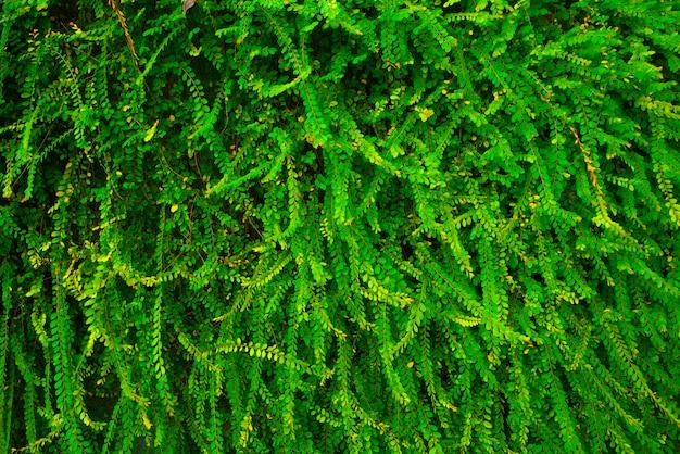 Muro di piante di edera verde