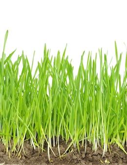 Prato verde isolato su sfondo bianco