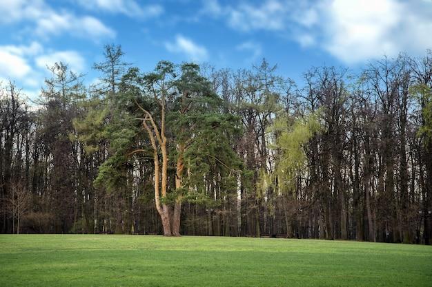 Prato verde con grande pino al centro nel parco pubblico in estate