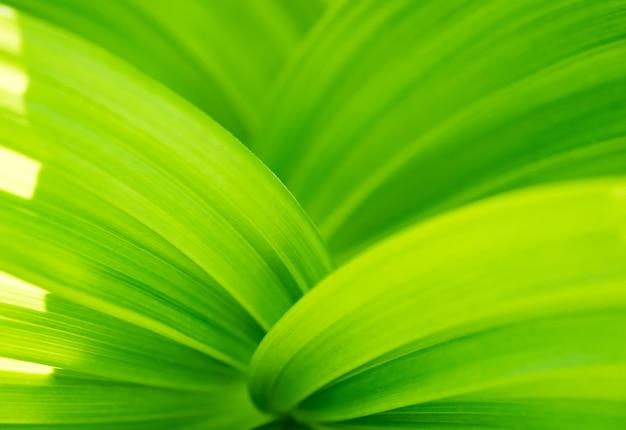 Sfondo astratto foglia verde. veratrum, primo piano di struttura di elleboro falso