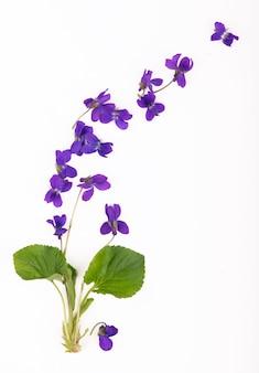 Foglia verde e fiori di legno viola viola odorata isolati su sfondo bianco. pianta medicinale e da giardino