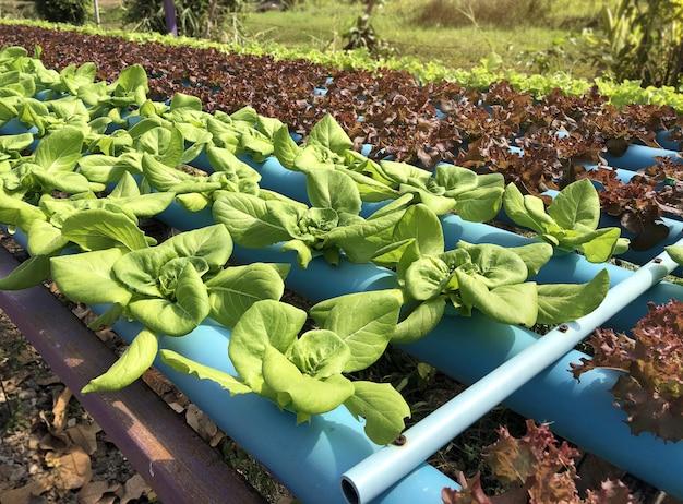 Giacimento vegetale idroponico della foglia verde