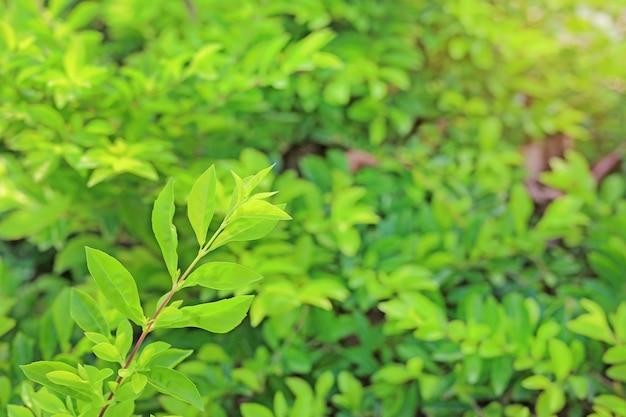 Foglia verde isolata su sfondo verde sfocato. close up carta da parati fresca della natura in giardino