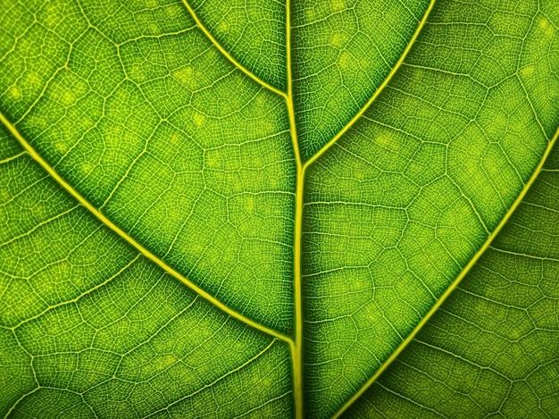 Macro foglia verde