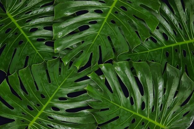 Foglia verde monsteras su sfondo nero per lo sfondo