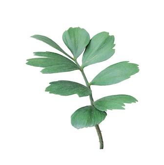 Foglia verde della palma isolata su bianco
