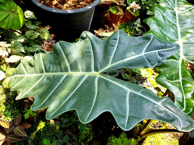 Foglie verdi di alocasia in giardino