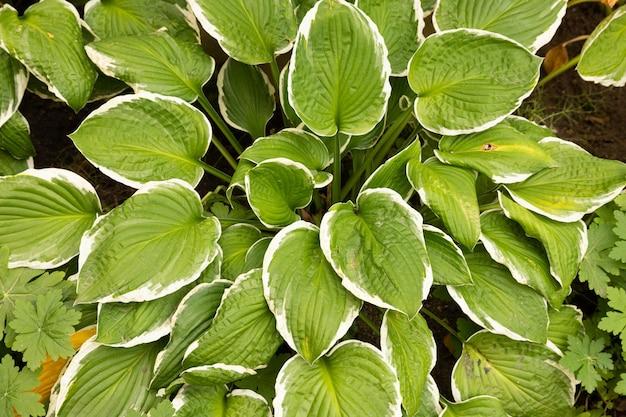 Foglie verdi di araceae. sfondo di foglie a forma di cuore.