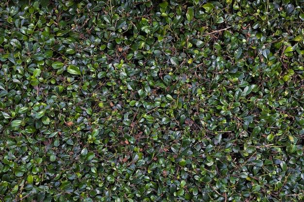 Sfondo e trama di foglie verdi