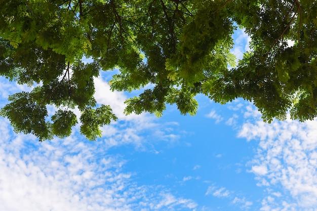 Foglie verdi e cielo blu con la luce del sole nella stagione estiva.visualizza fino alla cima dell'albero di un enorme platano nella giornata di sole blu.
