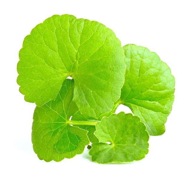 Foglie verdi di centella asiatica, centella asiatica, (centella asiatica (linn.) erbe tropicali isolati su sfondo bianco