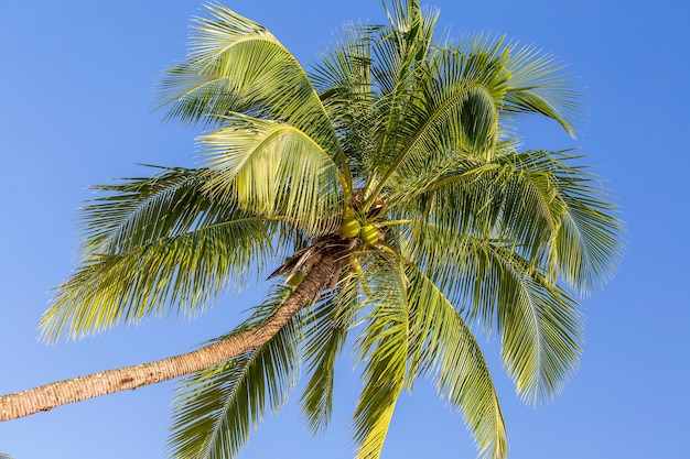 Foglie verdi di palma da cocco contro il cielo blu, thailandia. concetto di viaggio nella natura