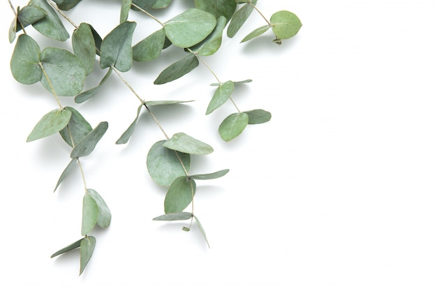 Foglie verdi eucalipto. rami di eucalipto isolato su sfondo bianco.