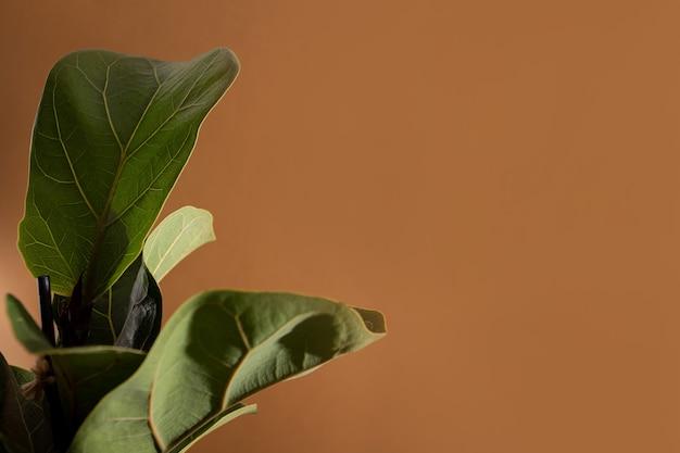Foglie verdi di fiddle fico o ficus lyrata fiddleleaf fico la popolare casa tropicale ornamentale...