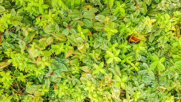 Foglie verdi in giardino con rugiada.