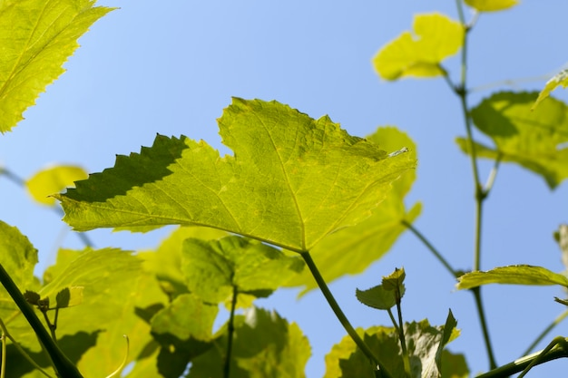 Foglie verdi dell'uva nella stagione primaverile, giovane fogliame verde dell'uva contro il cielo blu