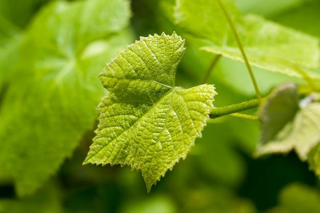 Foglie verdi dell'uva nella stagione primaverile