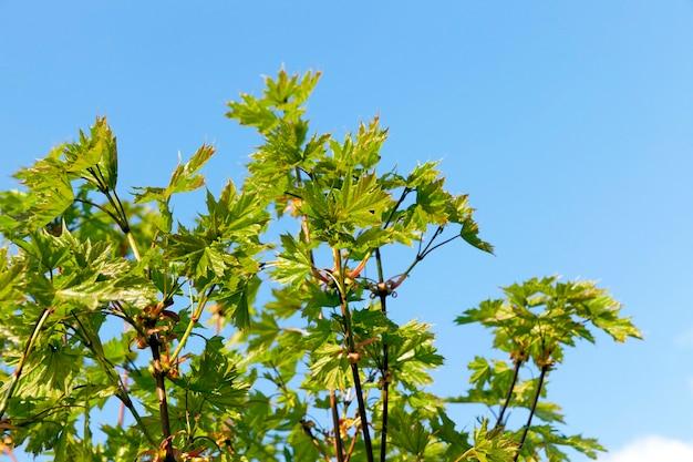 Foglie verdi sugli alberi di acero nella stagione autunnale.