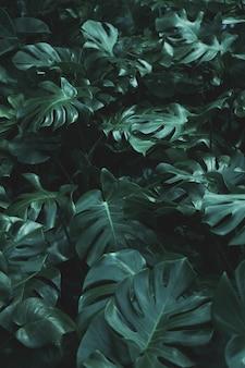 Foglie verdi della pianta del filodendro di monstera