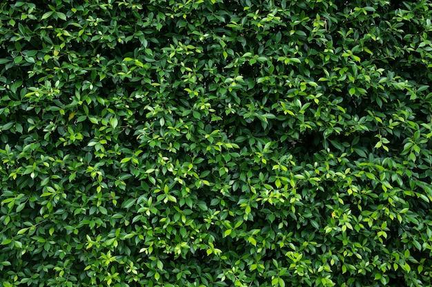 Carta da parati naturale dello sfondo delle foglie verdi, struttura della foglia