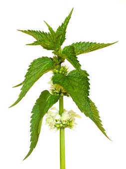 Foglie verdi e fiori di ortica su sfondo bianco isolato_