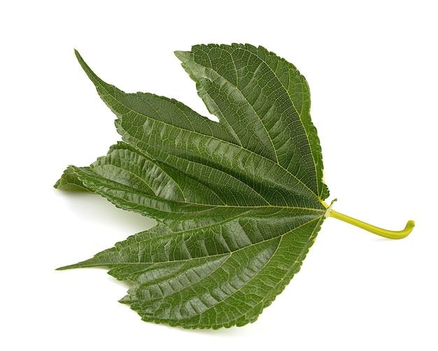 Il verde delle foglie del platano (morus australis)