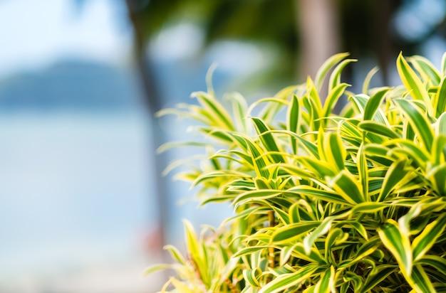 Foglie verdi della pianta dracaena riflessi nel giardino vicino al mare.